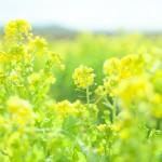 菜の花の花は食べることが出来るの?食べ方はどうしたらいい?